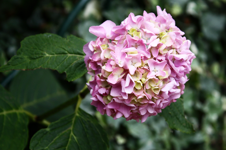 nature-hydrangea-light
