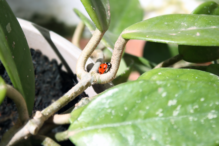 ladybird-morning
