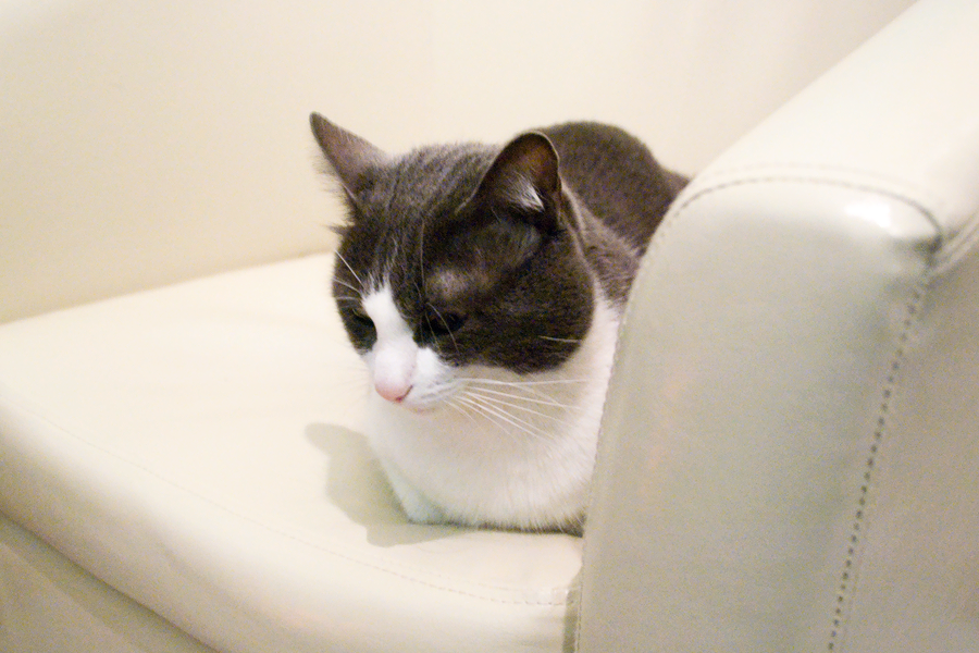 oxford_cat_tub_chair