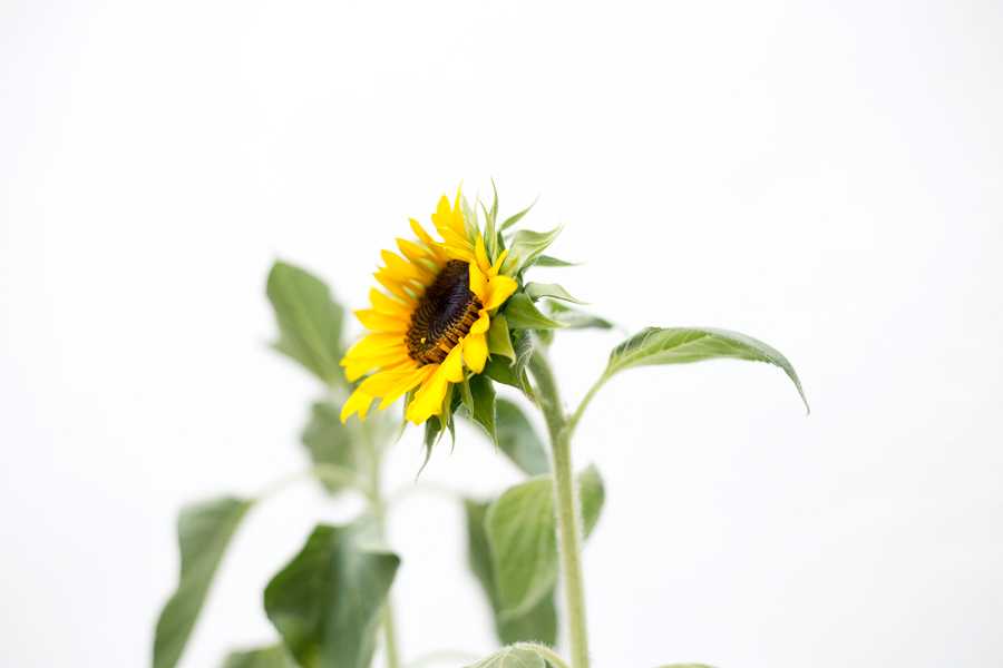 20160625_sunflowers_1420